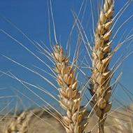 Wheat Fertilizer Program - Liquid