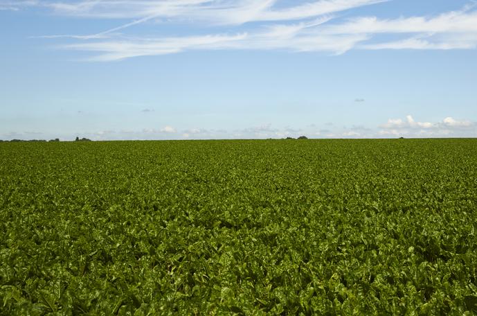 Fält med sockerbetor