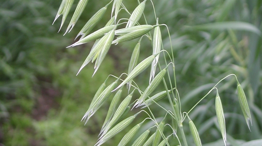 How to increase oat grain size and specific weight