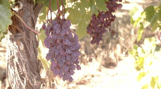 Daño por calor excesivo de la uva