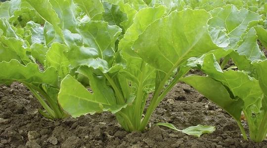 How To Increase Sugar Beet Yield Yara Uk
