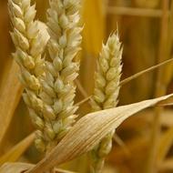 Wheat Fertilizer Program