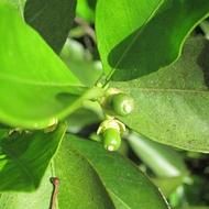 Citrus Leaf Bronzing and Crop Nutrition