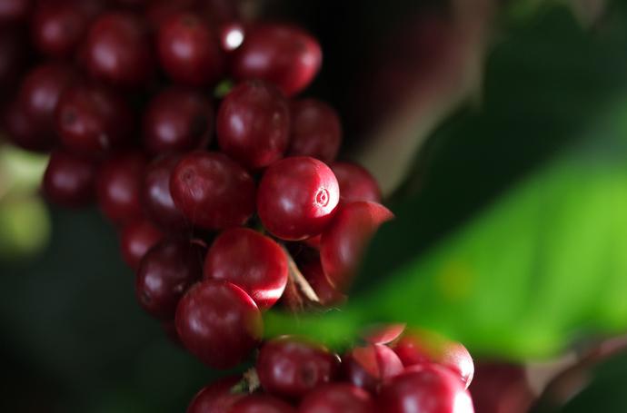 Buena producción de café