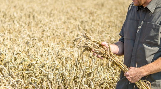 Calidad trigo
