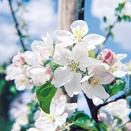 Reducing Lenticel Blotch Incidence in Pome Fruit