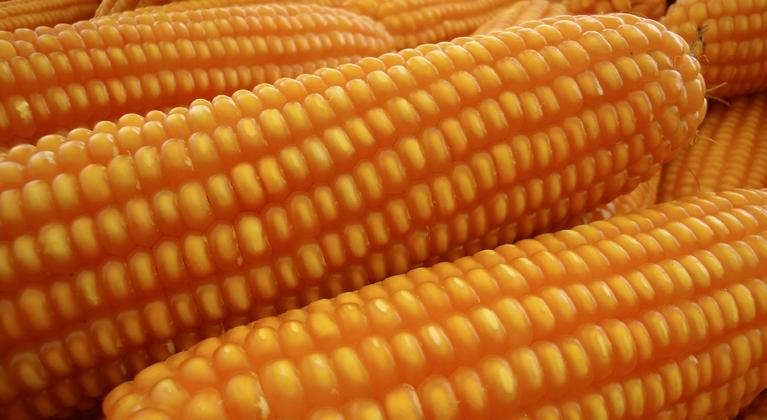 Programa de fertilización del maíz
