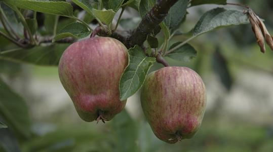 manzana maduración