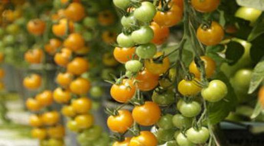 Qualità del pomodoro