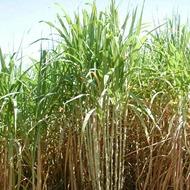 Reducir contenido de fibras en caña de azúcar