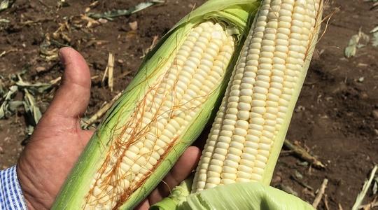 Incrementar el tamaño y la cantidad de granos en maíz