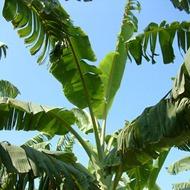 Banana types