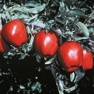 Improving Pome Fruit Colouration