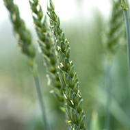 Increasing Wheat Grain Numbers Per Ear