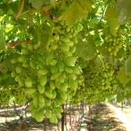 Improving Storage Quality of Table Grapes