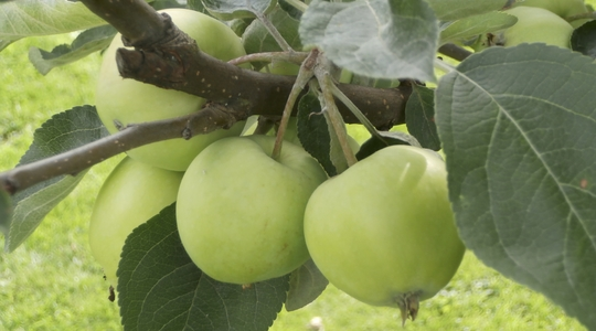 Role of Zinc in Pome Fruit Production
