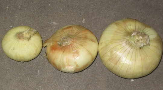 onion bulb cut
