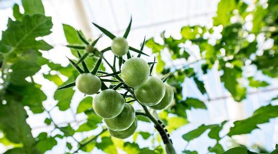 Resa del pomodoro