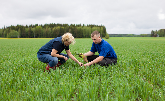 Hyvinvoiva juuristo tuottaa suuren sadon