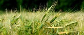 Barley field using fertilizer