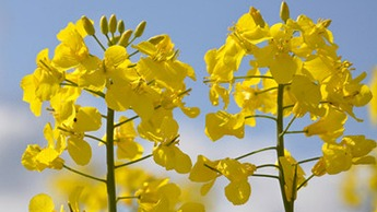 Oilseed Rape Crop Nutrition