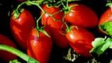 Managing Tomato Taste