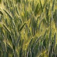 Rye Fertilizer Program