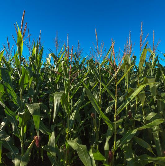milho nutrição de plantas