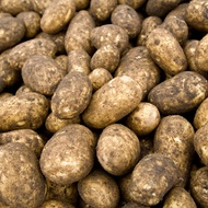 Influencing Potato Starch Content and Quality