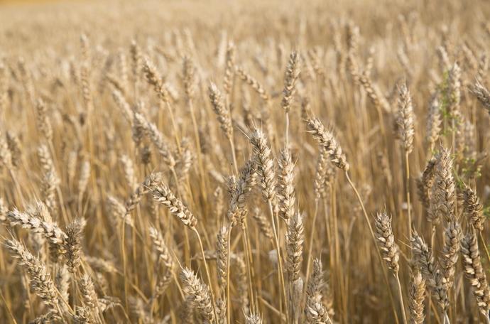 Galvenie fakti par kviešu audzēšanu