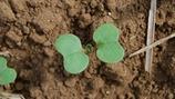 Oilseed Rape Canopy Development