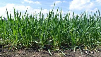 Gjødslingsråd for høsthvete