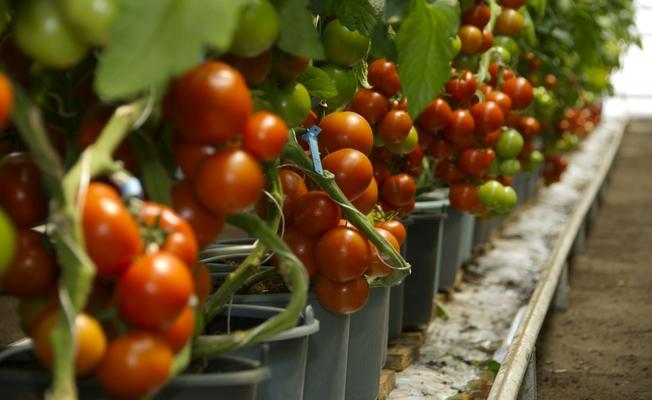 Aumentar la producción de tomate