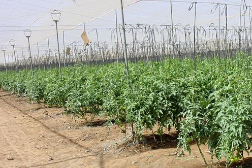 tomatoes grown in soil