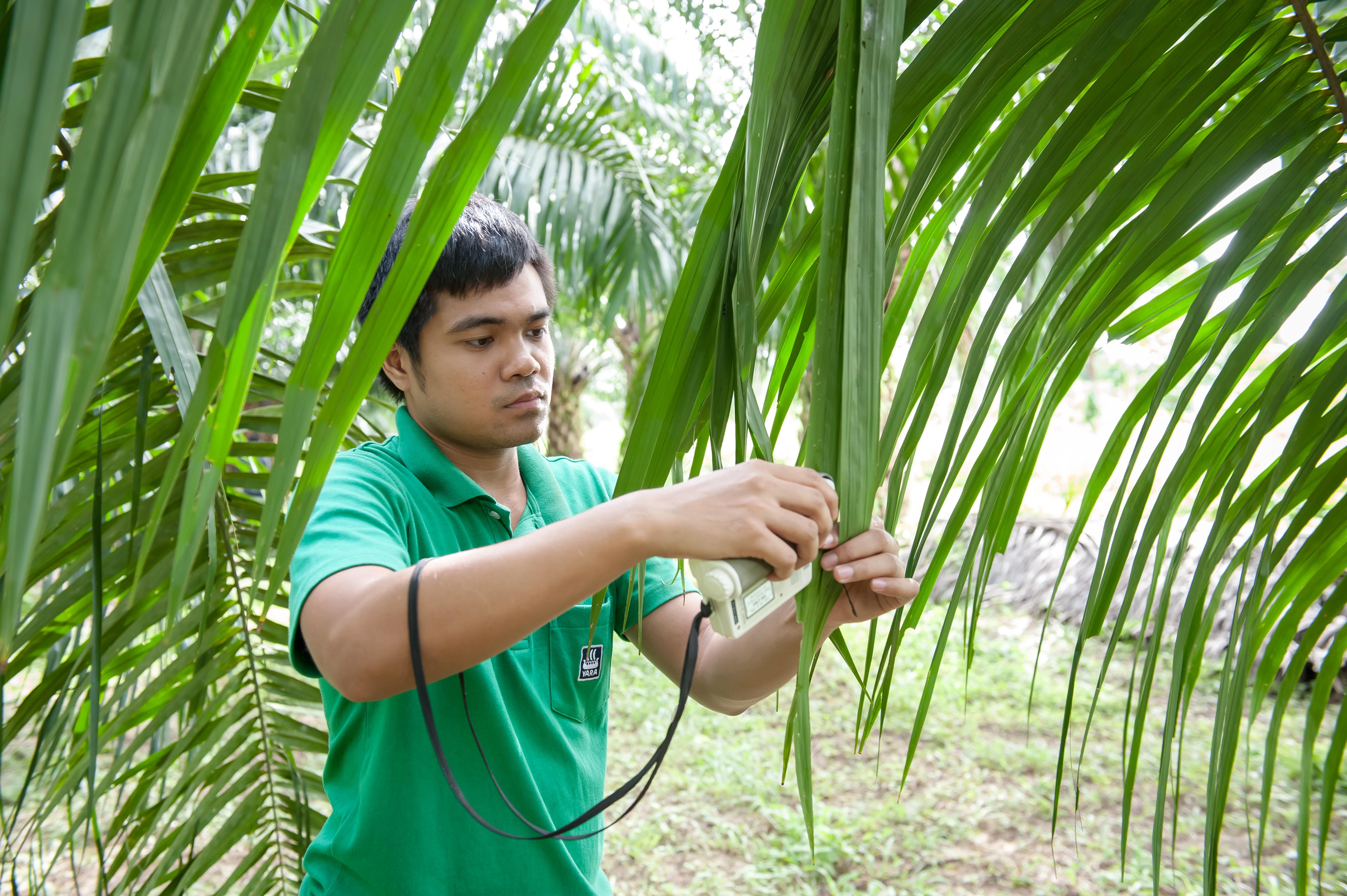 Leaf analysis - to identify nutrient deficiencies
