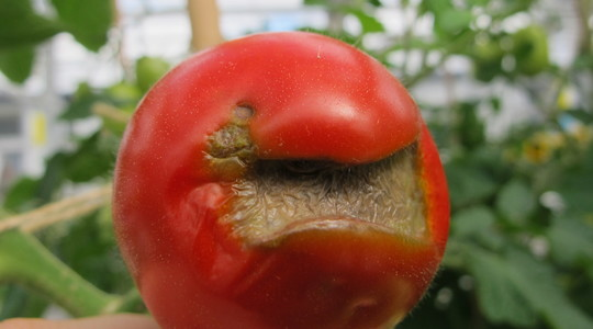tomate falta de calcio