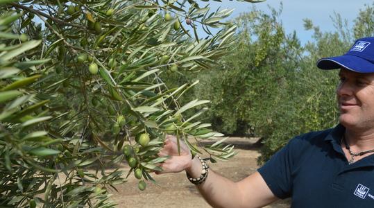 Calidad olivo