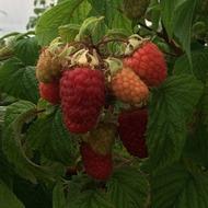 Raspberry Fertigation Programme