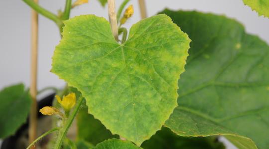Melon Crop Nutrition | Yara United States