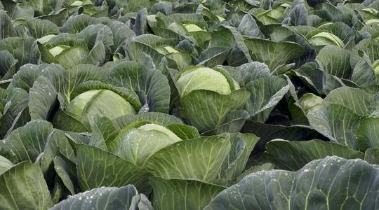 Cabbage Crop Nutrition Programme Yara India