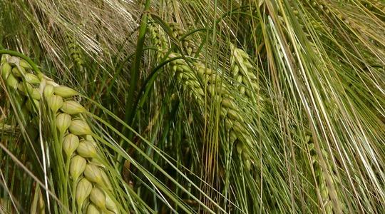 Barley agronomic principals