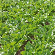 Sugar Beet Crop Nutrition