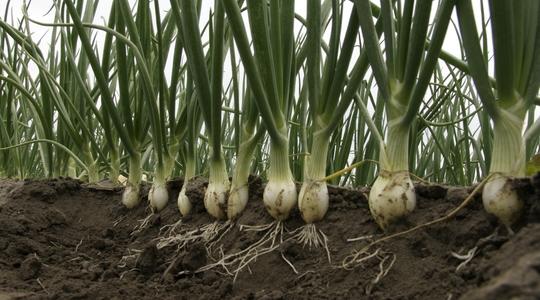 How To Increase Onion Yield Yara Uk