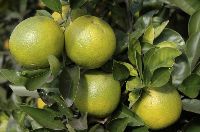 cítricos verdes
