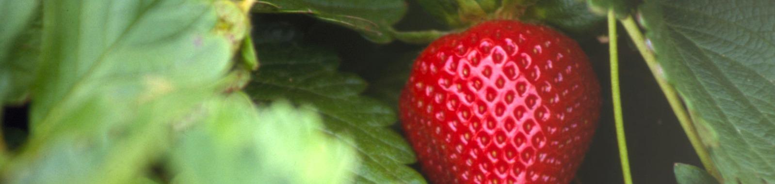 Ravinteiden merkitys mansikalle