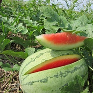 Improving Melon Fruit Firmness