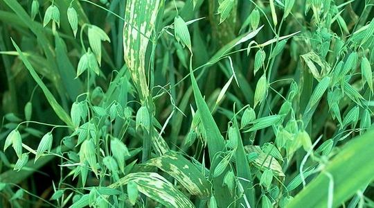 Mangaanin puutos kasvilla