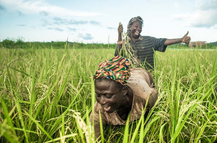 How to increase rice yield