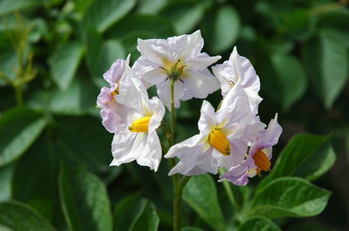 Galvenie fakti par kartupeļu audzēšanu