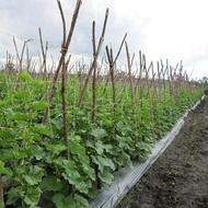 Melon - Soil Management